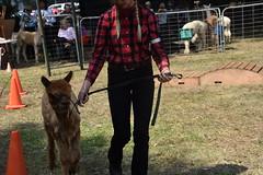 DSC_5111 (VAYG) Tags: vay vytec paraders aaa victorian alpaca association youth australian australia iar 2019 alpacas alpacalypse crystal cove profarma jay hall athena melbourne show redhill red hill