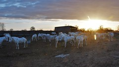 chevaux en Camargue 19C_3176 (Bernard Fabbro) Tags: cheval camargue horse sunrise