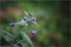 Spring is here...[17] (bafdias) Tags: flowers olympuszuikomacro90mmf2 fujifilmxpro2