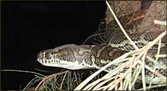Predator ... (Mary Faith.) Tags: snake 15 predator python