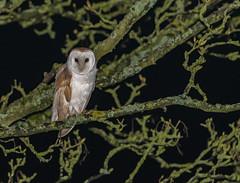 Barn Owl by the roadside (ukmjk) Tags: barn owl nikon nikkor north staffordshire stoke bird night d500 300mm f4 pf