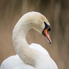 Swan (PedroLanders) Tags: street somerset hamwall rspb bird
