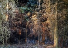 into the woods (rob kraay) Tags: firs branches treetrunk robkraay conifers sunlight