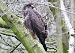 Bussard*Buzzard*Buteo (BrigitteE1) Tags: buzzard buteo bussard vogel bird bremen deutschland norddeutschland germany raubvogel raptor specanimal