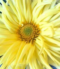 Sunny November (gomosh2) Tags: yellow flowermacro novemberflower