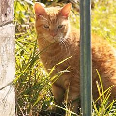 Sunshine (writeonmusic) Tags: cat animal canon eos rebelxsi eosrebel 450d square sunlight sunshine kitty feline