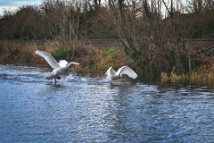 FIGHTING SWANS [ ROYAL CANAL BETWEEN BROOMBRIDGE AND ASHTOWN]-148328 (infomatique) Tags: birds swans fight wildlife nature water canal royalcanal canalwalk sony a7riii batis zeiss 135mmlens williammurphy infomatique fotonique ireland