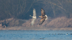 White-tailed eagle chasing grey heron (JS_71) Tags: nature wildlife nikon photography outdoor bird new autumn see natur pose moment outside animal flickr colour poland sunshine beak feather nikkor d7500 wildbirds water river