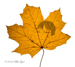 Autumnal portrait (trethurffe2001) Tags: autumn browneyes club leaf photography portrait sycamore warringtondistrictcameraclub wdcc