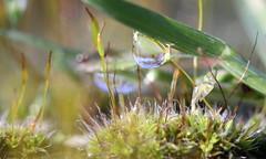 the raindrop (bugman11) Tags: macro moss flora droplets drop drops droplet rain water bokeh canon nature thenetherlands nederland haarlem 100mm28lmacro