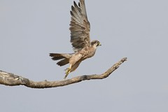 Lanner Falcon (Falco biarmicus) taking off ... (berniedup) Tags: rooikop nossob kgalagaditransfrontierpark lannerfalcon falcobiarmicus falcon taxonomy:binomial=falcobiarmicus kgalagadi