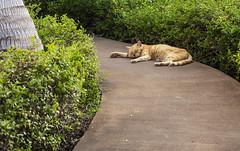 Cat Nap (rjseg1) Tags: cat hawaii bigisland