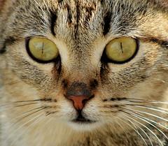 Watchful Eyes (ᗰᗩᖇᓰᗩ ☼ Xᕮ∩〇Ụ) Tags: γατα ζωη ζωο στιγμεσ life animal cat katze augen tier moments momente canoneos1100d portrait macro makro eyes ματια ομορφια schön beauty