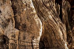 Millenary olive wood (ipomar47) Tags: smileonsaturday shadesofbrown olivo milenario olive tree millenary madera wood marron brown olea oleaeuropea oleaceae botanica flora botany planta plant naturaleza nature vegetal territoriodelsenia tauladelsenia traiguera españa spain tronco trunk abstracto abstract
