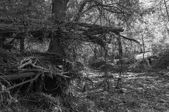 rock creek entanglements, 2018 (Clayton Percy) Tags: blackwhite bw creek stream trees landscape
