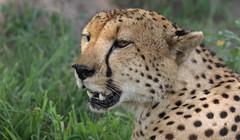 Keeping A Watchful Eye ... (AnyMotion) Tags: mondayface cheetah gepard acinonyxjubatus cat cats katzen katze portrait porträt portraitaufnahmen 2018 anymotion tarangirenationalpark tanzania tansania africa afrika travel reisen animal animals tiere nature natur wildlife 7d2 canoneos7dmarkii ngc npc