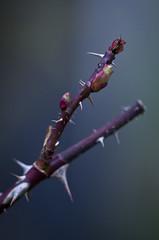 Thorn (sam.naylor) Tags: pentax k5 28mm smc manual digital dslr walk nature woking uk britain colour sun