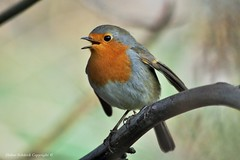 Rouge-gorge familier (Erithacus rubecula) (12) (Didier Schürch) Tags: nature foret animal oiseau rougegorge erithacus