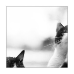 A l'heure du repas. (Scubaba) Tags: europe france pasdecalais noirblanc noiretblanc bw blackwhite chats cats