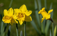 Soaking up the sun (The Crewe Chronicler) Tags: daffs daffodils spring springflowers springbulbs bulbs nature naturalworld garden gardening canon canon7dmarkii flower flowers