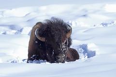 Elvis (csnyder103) Tags: bison lamarvalley yellowstonenationalpark yellowstonewildlife cold canoneosm5 canonef400f4doii