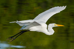 Graceful flight (ChicagoBob46) Tags: greategret egret bird jndingdarlingnwr florida sanibel sanibelisland nature wildlife naturethroughthelens ngc coth5 npc