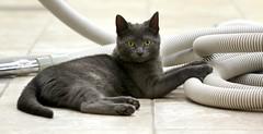 Cinderella... (Kerri Lee Smith) Tags: grayson cats kittens gray grey ccc adoption rescue happycaturday graykittens greykittens vacuumcleaner