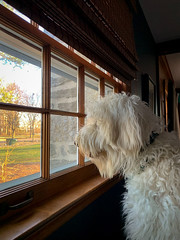 75/365 - Doggie in the window (Ed Gloria) Tags: dog doodle goldendoodle window observation