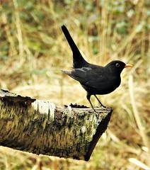Male Blackbird at Thornley Woods (Gilli8888) Tags: nikon p900 coolpix thornleywood thornleyhide tyneandwear nature birds blackbird male log wood