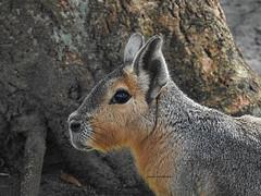Liebre patagónica (josuneetxebarriaesparta) Tags: erbia liebrepatagónica mara lièvre hare roedor herbívoro dolichotispatagonum animalia animal