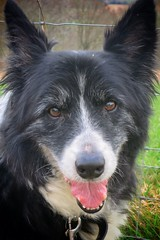 Toby aged 15 and 11 months (gary8345) Tags: britain uk snapseed london londonist 2019 england unitedkingdom greatbritain dogs bordercollie dog