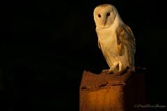 Barn on a industrial post (budgiepaulbird) Tags: barnowls perched eveninglight canon7dmark2 100400mark2 birdsofprey birds