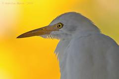 Cattle Egret (Bubulcus ibis) (Jeluba) Tags: 2019 bubulcusibis canon cattleegret hérongardeboeufs jeanlucbaron jeluba kuhreiher aves bird birdwatching nature oiseau ornithology wildlife sansalvadorisland bahamas