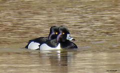 Ring-necked Ducks male (Lois McNaught) Tags: ringneckedducksmale duck bird avian nature wildlife hamilton ontario canada