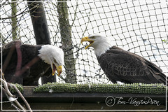 eagles nest (toinie) Tags: eagle american fish arend nikon d500 sigma 600mm breeding nest iron danger prey