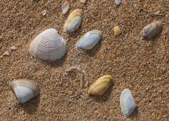 Random Positioning (Mac ind Óg) Tags: seashell moray donaxvittatus walking spisulasolida holiday bandedwedgeshell summer beach clam lossiemouth thicktroughshell stripedvenus scotland macro chameleagallina shell elgin
