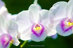 National Orchid Garden (O.Hahn Photography) Tags: singapore singapur nikond90 lionstate asia asien travel reisen city stadt unique einzigartig orchid orchidee nationalorchidgarden blumen flower colours farben bunt pflanzen makro macro nahaufnahme