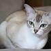 Elsie (pouncealot) Tags: cat catportrait cute canon pet petportrait