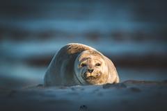 the golden seal (stein.anthony) Tags: helgoland nordsee robbenbaby düne kegelrobben nordseeküste schleswigholstein natur nature animals