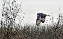Beware below!! (Snixy_85) Tags: owl shortearedowl asioflammeus