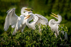 Waiting for Mama (Selkii's Photos) Tags: audubonsociety birds casmerodiusalbus egret familyardeidae greategret highisland orderciconiiformes smithoaksbirdrookery smithoaksbirdsanctuary texas