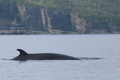 The Minke (peterkelly) Tags: digital canon 6d northamerica canada newfoundlandlabrador trinitybay whale water shoreline shore coast coastline fin minkewhale cliff