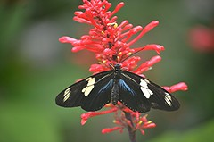 Heliconius doris on dewy red Firespike (jungle mama) Tags: heliconiusdoris blue white red firespike fairchildtropicalbotanicgarden fairchildgarden susanfordcollins heliconius longwing doris coth5
