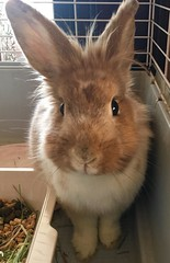 This is Bella our Foster Bun. And Jojo is madly in love with her! 😍 (markdavidsmom) Tags: lionhead backlight rabbit portrait bunny beautiful pets pet rescue foster