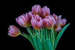 Tulipa 9 (kudi.buehlmann) Tags: sigma nikon flowers nature tulip tulpe tulipa blume schnittblume macro rosa farbig studio