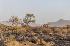 _RJS4708 (rjsnyc2) Tags: 2019 africa d850 desert dunes landscape namibia nikon outdoors photography remoteyear richardsilver richardsilverphoto safari sand sanddune travel travelphotographer animal camping nature tent trees wildlife