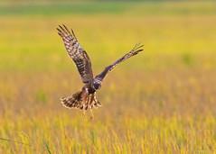 Pied harrier (Staf_Ferry) Tags: malaysiabird ngc paddyfield perak seberangperak nikkorafs500mmf4gedvr nikond500 birdphotography birding wildlife wintervisitor piedharrier bird raptor nature
