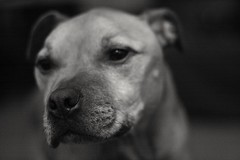 Chester Staffy Cross (jamesdavidboro2) Tags: dogs pets staffy staffodrshire bull terrier pit bully canon eos 400d manual focus pentax 50mm 1750 prime animals k9 m42 httpswwwflickrcomgroupsclickclickbangbang