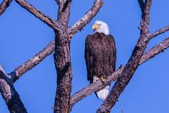 Majestic pose (ChicagoBob46) Tags: baldeagle eagle bird fortmyers florida nature wildlife ngc naturethroughthelens coth5 npc