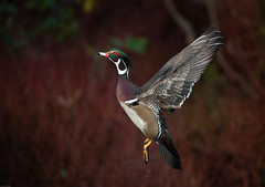 Wood Duck in Flight (kpgoldman.nature) Tags: nikon7020028 crystalsprings oregon portland d800 kengoldmanphotography 2019 flickr wildlife wood duck male woodduck wild nature